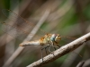 dragon-fly-was-waiting-carles-gine