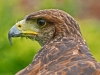 golden-eagle-alan-clamp