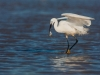 little-egret-fishing-laurent-staes