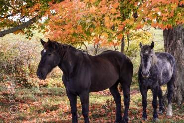 fall, horses