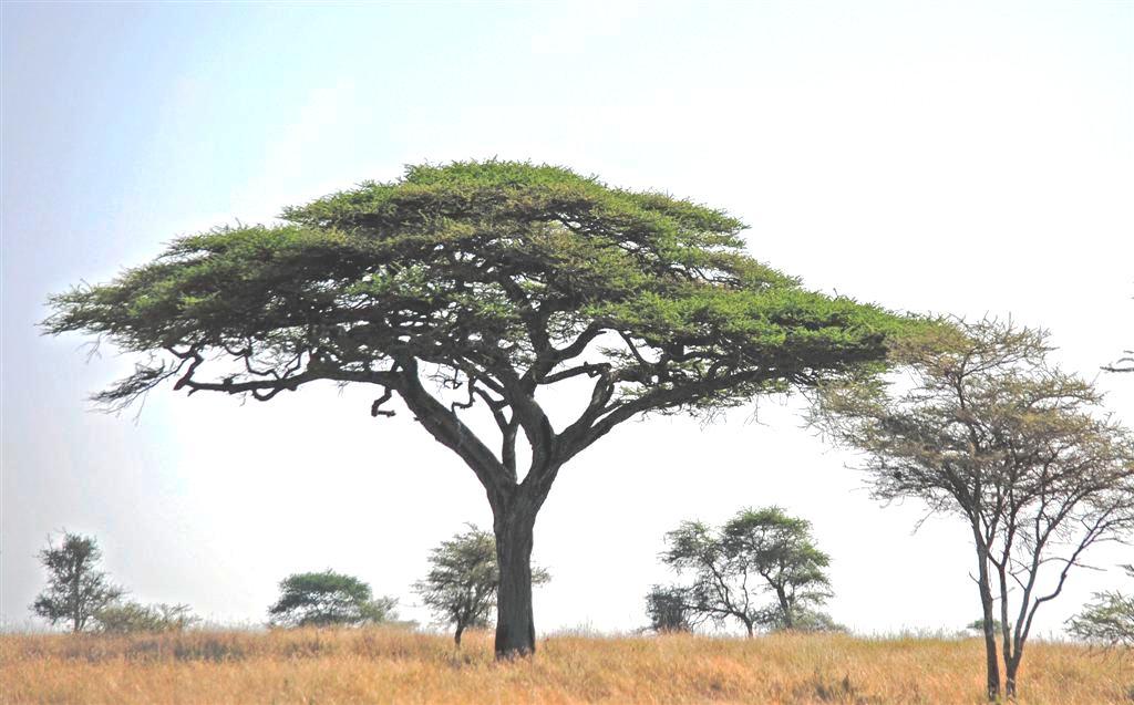 Photo Challenge Answered Acacia Tree In Tanzania Photolisticlife