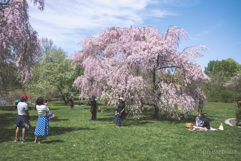Arboretum, Harvard, Boston, Leica, Street Photography, spring, blooming, tree, beautiful, landscape