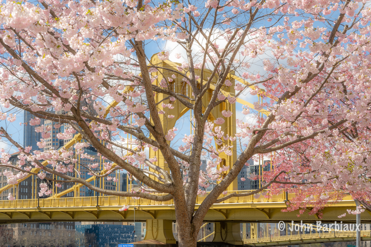 Cherry blossoms, Pittsburgh, spring, north shore, bridge, city, fine art photography